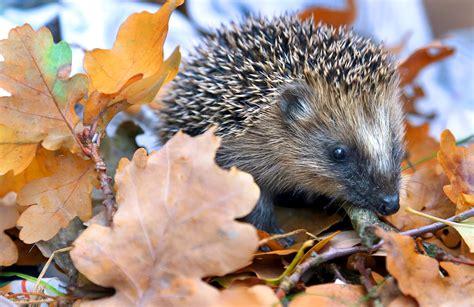 Igel Im Garten Herbst by Igel Im Garten Tipps F 252 R Einen Igelfreundlichen Garten