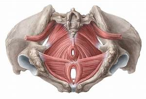 Movement biomechanics educating you on the science of for Pelvic floor muscle spasms