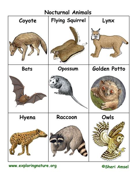 nocturnal animal flashcards