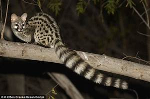 Genet rides on the back of a RHINO and often travels by ...
