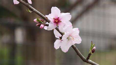 Pink Sakura Blossom Flowers Close up Stock Footage Video