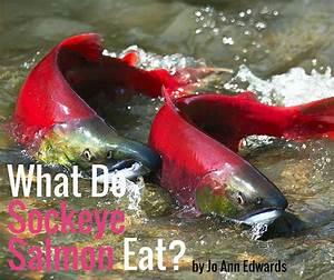 What Do Sockeye Salmon Eat?