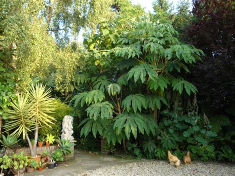 tropical plants zone 7 tetrapanax papyrifer steroidal giant rice paper plant tropical drama will overwinter