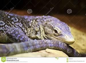 Blue Monitor Lizard Pet | www.imgkid.com - The Image Kid ...