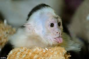 capuchin monkey pet justin bieber s abandoned monkey settles in to its new life at a german wildlife park daily