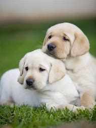 Yellow Lab Golden Retriever Puppies