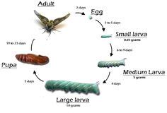 hornworm life images   bugs butterfly