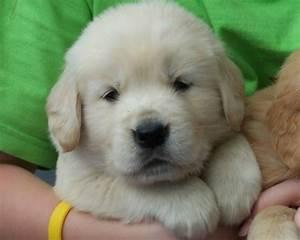 Baby Golden Retriever Puppies For Sale Retriver Puppys ...