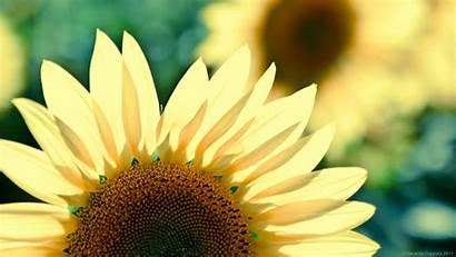 Yellow Desktop Sunflower Flower Wallpapers Windows Theme