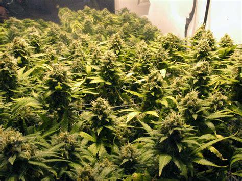 Wie Und Wann Cannabis Pflanzen Ernten