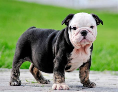 bulldog ingles animales mascotas mercafauna