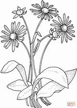 Daisy Coloring Pages Asteraceae Printable Flowers Adult Drawing Super Paper Drawings sketch template
