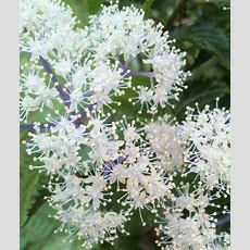 Hydrangea Hirta, Native To Japan  For The Home