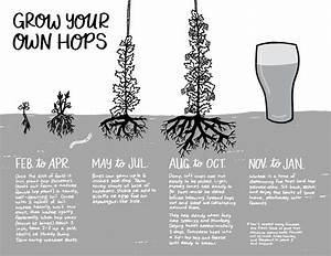 Planting And Caring For Hops