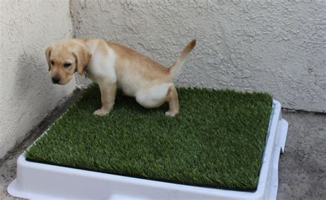 puppy toilet at how to house your new puppy