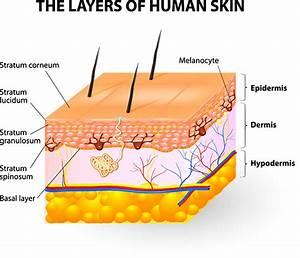 Skin Clipart Skin Diagram  Skin Skin Diagram Transparent