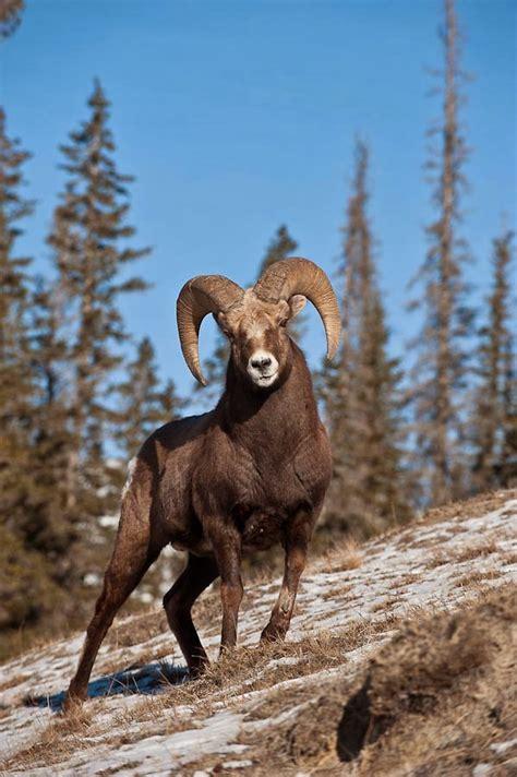 aveek blogs big horn sheep  rocky mountain