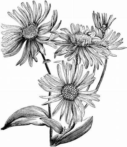 Flower Flowers Columbine Drawing Drawings