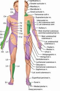 Sensory Localisation  Dermatomes  U0026 Peripheral Nerves