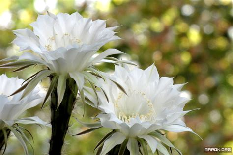 fiori di cactus fiori di cactus