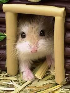 Hamsters, Roborovski hamster and Hamster house on Pinterest
