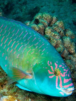 waikiki aquarium parrotfish