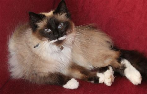 gorgeous ragdoll birman cross cat stourbridge west
