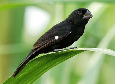 lesser seed finch flickr photo sharing
