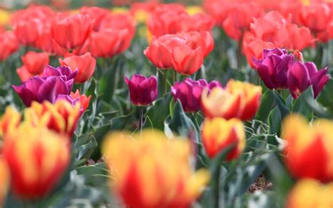 see asia s largest tulip asia s largest tulip garden is in full bloom and you need