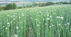 Quand Planter Le Muguet : oignons vous vous lancez dans la culture d 39 oignons ~ Melissatoandfro.com Idées de Décoration