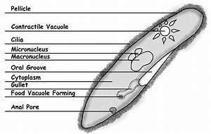 Paramecium Diagrams Hd