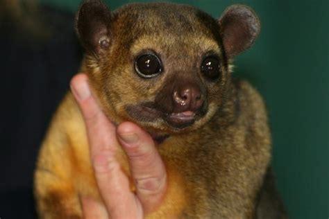 kinkajou pet blog fuad informasi dikongsi bersama top 5 cute and cudly exotic pets
