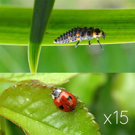 images de coccinelles larve de coccinelle 224 deux points anti puceron naturel