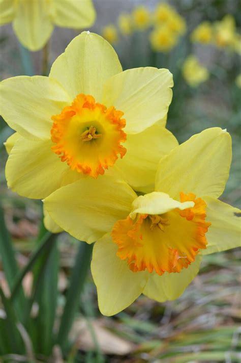 daffodils   garden