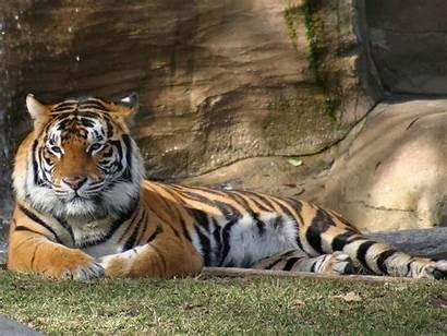 Tiger Desktop Wallpapers Backgrounds Tigers Animal Animals