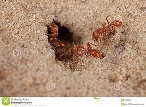 Red Harvester Ant  Pogonomyrmex Barbatus  Stock Photo