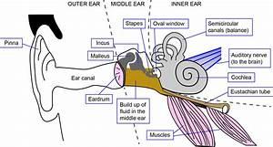 Human Ear Diagrams To Print