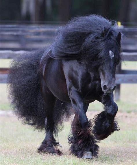 Horse Gypsy Vanner Stallion