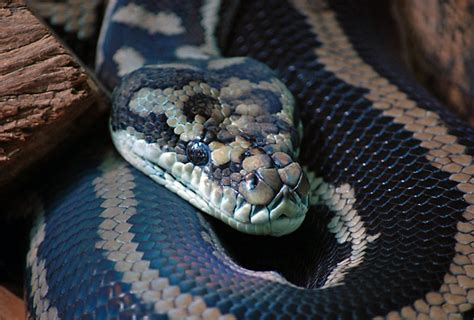 1 800 Carpet by Diamond Python Carpet Python Morelia Spilota