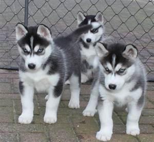 Husky Zu Verkaufen : tieranzeigen auseinander kleinanzeigen ~ Orissabook.com Haus und Dekorationen
