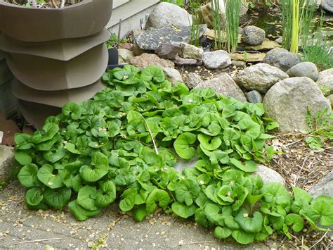 shade plants canada canadian wild ginger is a great plant for dry shade garden drama