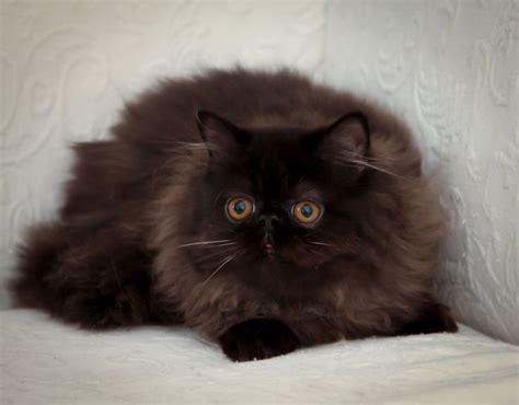 rare black himalayan cat victorian gardens cattery