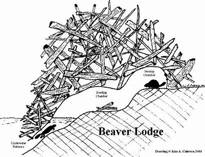 Beaver Lodge Dam Clipart Beavers Drawing Tracks