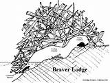 Beaver Lodge Dam Clipart Beavers Drawing Tracks Animal Animals Lodges Castor Activities Kim Sea Coloring Paddle Drawings Dams Cabrera Pond sketch template