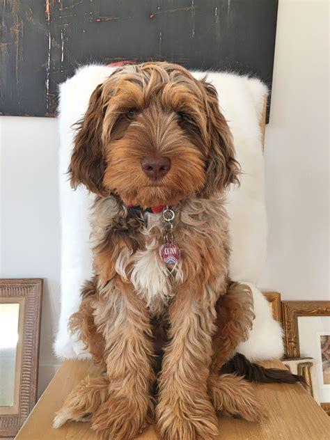 chocolate merle phantom doodle puppy love  breed
