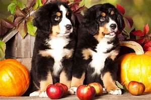 can dogs eat apples is it safe for dogs to eat apples