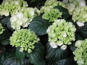 Hortensie Umpflanzen Im Topf : hortensie im topf weiss midi versand f r blumen pflanzen floristik ~ Orissabook.com Haus und Dekorationen