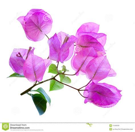 beautiful bougainvillea images  pinterest