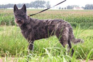 dutch shepherd association roughhaired