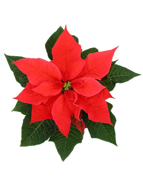 poinsettia flower the poinsettia state by state gardening